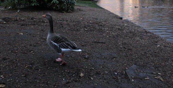Greylag Geese In St James s Park London
