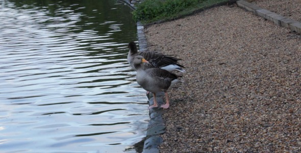 Greylag Geese In St James s Park London 1