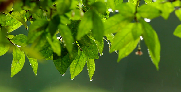 Green Leaves In The Rain Slow Motion