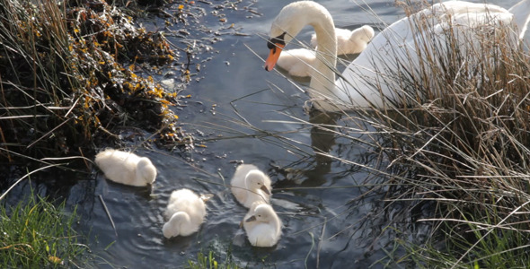 Swan With Chicks 01