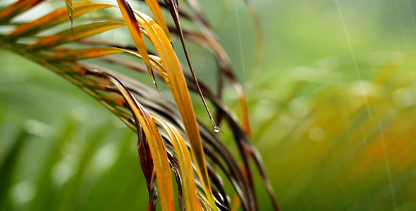 Palm Leaves In The Rain