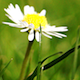 Nature HD/ Daisy - VideoHive Item for Sale