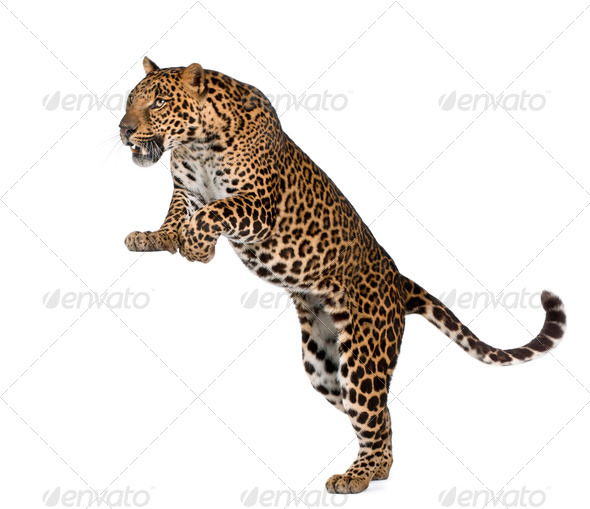 Leopard, Panthera pardus, in front of white background, studio shot - Stock Photo - Images