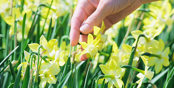 Narcissus Flowers Caressed By Woman Hand