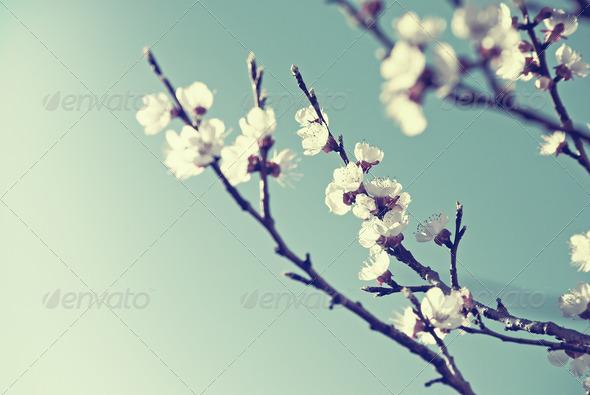 PhotoDune Cherry Blossom 1985629