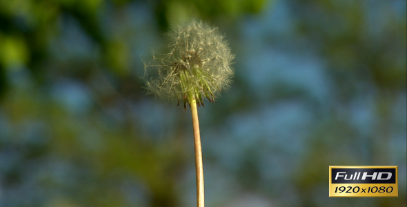 VideoHive Dandelion Blowing Slow Motion 2356833
