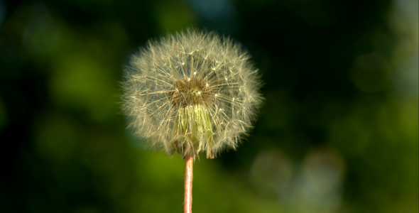 Dandelion Being Blowned Slow Motion