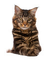 Maine Coon, 7 months old, sitting in front of white background, studio shot - PhotoDune Item for Sale