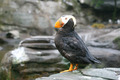 Tufted Puffin - PhotoDune Item for Sale