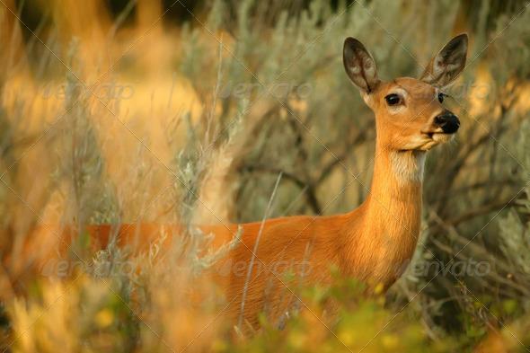 PhotoDune Alert Deer 148952