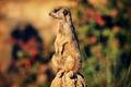 Meerkat Looking Around - PhotoDune Item for Sale