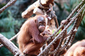 A Grumpy Orangutan - PhotoDune Item for Sale