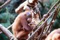 A Grumpy Orangutan - PhotoDune Item for Sale