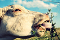 Bull Eating Plants - PhotoDune Item for Sale