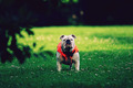 Bulldog in Park, Watching - PhotoDune Item for Sale