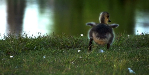 VideoHive Goose Family 2 2379720
