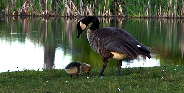VideoHive Goose Family 3 2379723