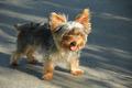 Terrier - PhotoDune Item for Sale