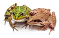 Common European frog or Edible Frog, Rana esculenta, and a Moor Frog, Rana arvalis - PhotoDune Item for Sale