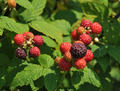 Black Raspberries - PhotoDune Item for Sale