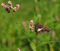 Silver-Spotted Skipper - PhotoDune Item for Sale