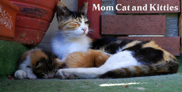 Mom Cat And Kitties 3