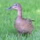 Duck On The Grass - VideoHive Item for Sale