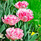 Pink Tulips On Green Grass 1 - VideoHive Item for Sale