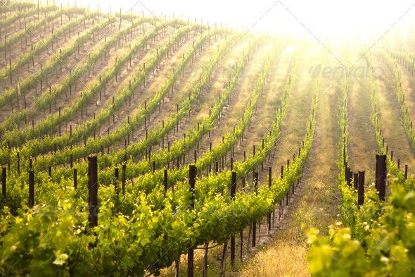 PhotoDune Beautiful Lush Grape Vineyard 280668