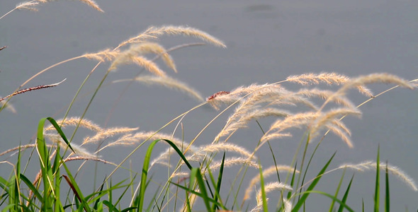 Lalang Grass By The Pond