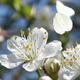 Blossoming tree - ActiveDen Item for Sale