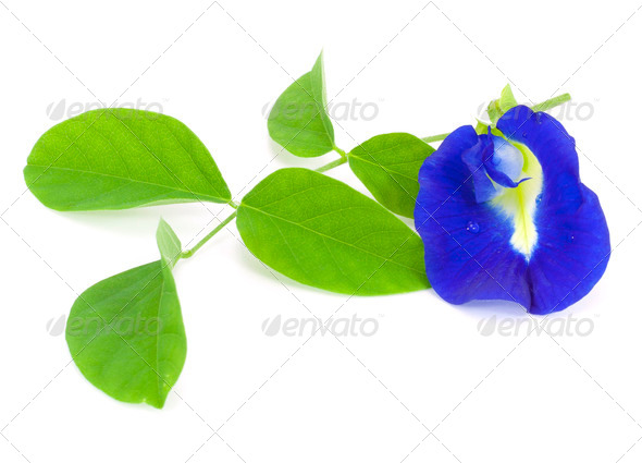 Clitoria ternatea - Stock Photo - Images