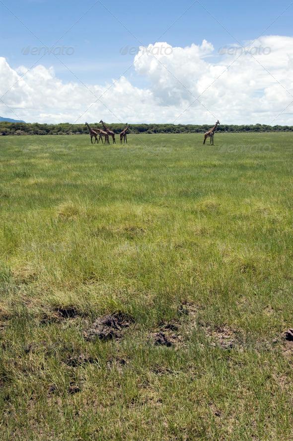 PhotoDune Giraffe in the grass 4049405
