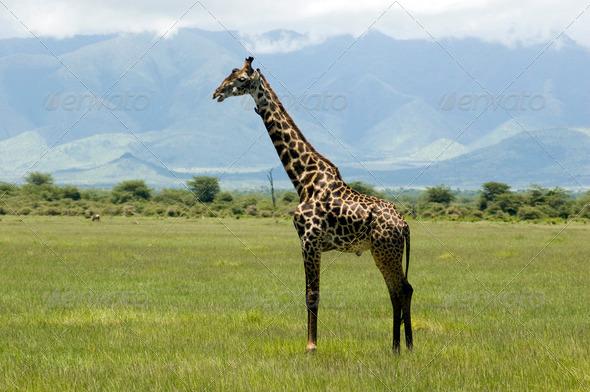 PhotoDune Giraffe in the grass 4049408