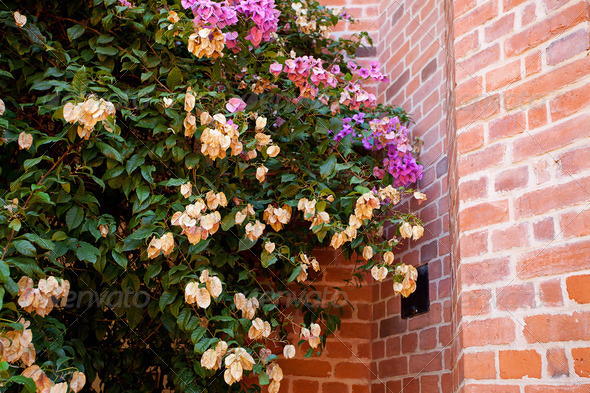 pink flowers on a background of red brick wall - Stock Photo - Images