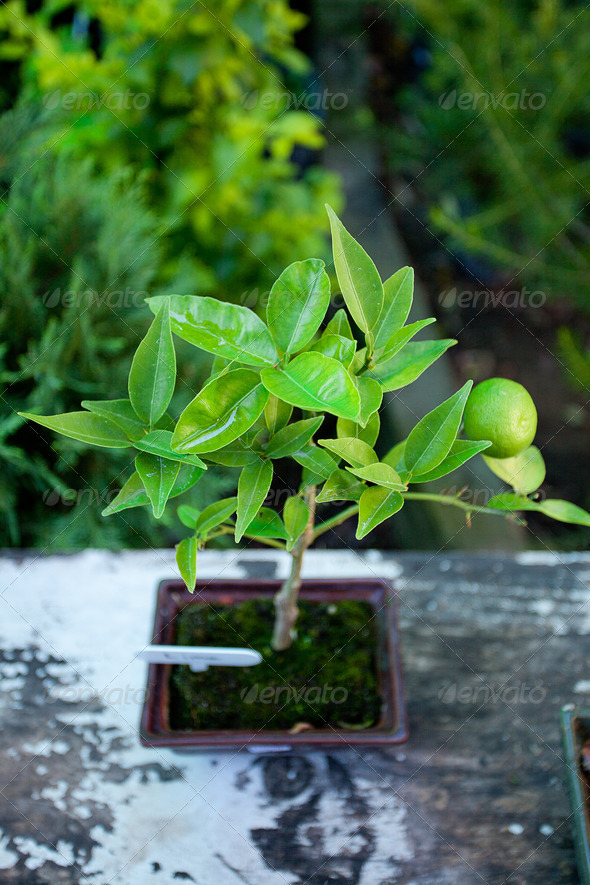Tangerine Bonsai in Japanese Garden - Stock Photo - Images