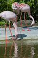 Flamingos - PhotoDune Item for Sale