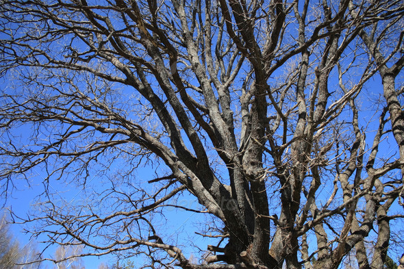 OLd oak tree - Stock Photo - Images