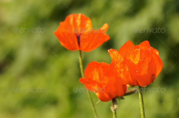 Bright red flowers of poppy - Stock Photo - Images