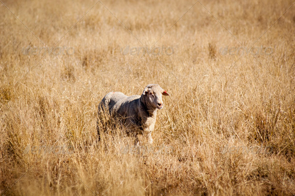 Sheep in Field - Stock Photo - Images