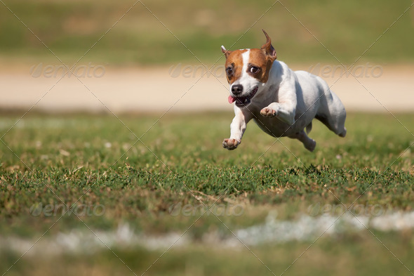 Stock Photo - PhotoDune Energetic Jack Russell Terrier Dog Runs on the Grass 286507