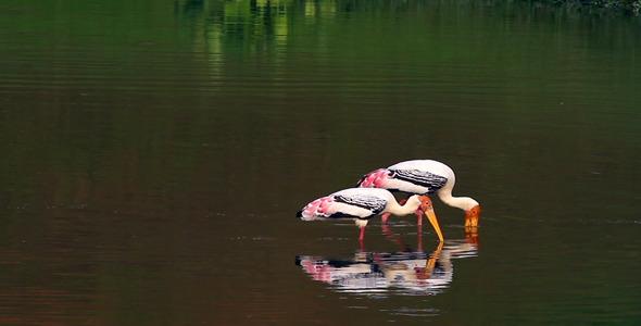 Storks Fishing 1