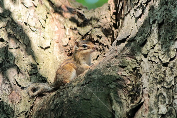 Chipmunk on a tree - Stock Photo - Images