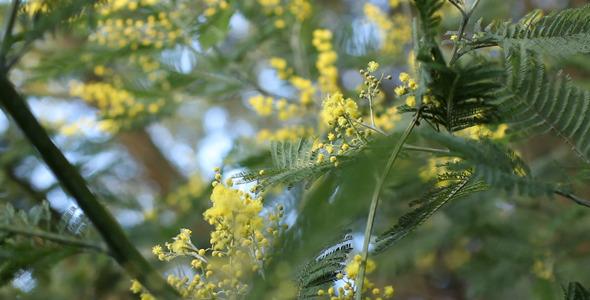 Acacia Dealbata 06
