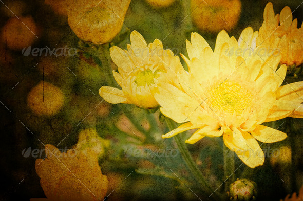 Beautiful yellow chrysanthemum flowers - Stock Photo - Images