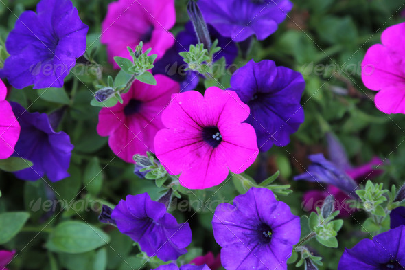 Violet flowers - Stock Photo - Images