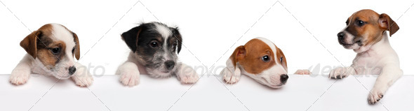Stock Photo - PhotoDune Jack Russell Terrier puppies 2 months old getting out of a box in front of white background 287227