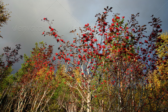 Rowan tree in autumn - Stock Photo - Images