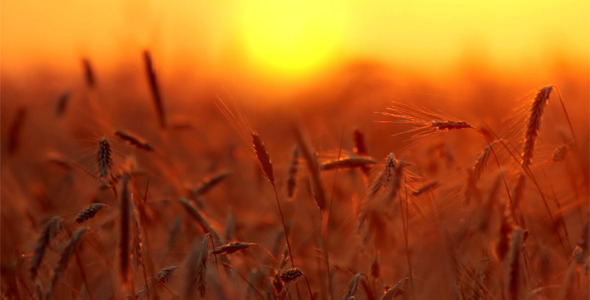 [VideoHive 2570804]  Wheat At Sunset 2 | Stock Footage