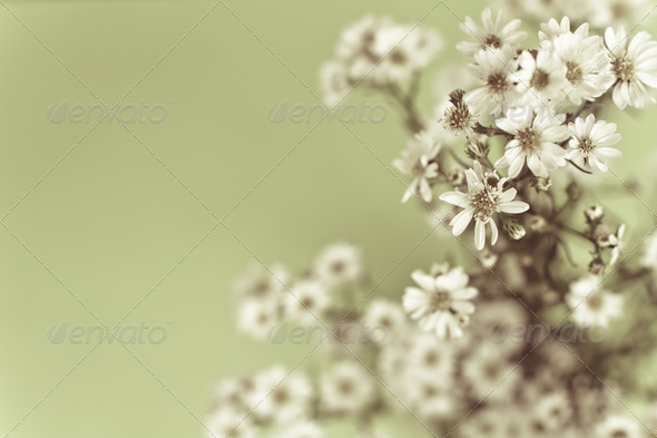 retro style image of Gypsophila  - Stock Photo - Images